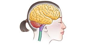 小脳のイメージ
