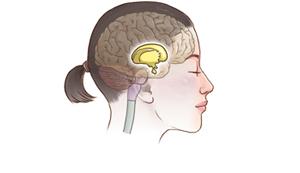 間脳のイメージ